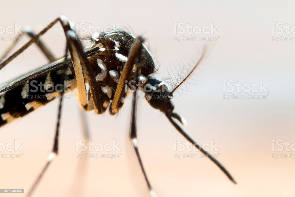 Close up of an Asian Tiger Mosquito stock photo