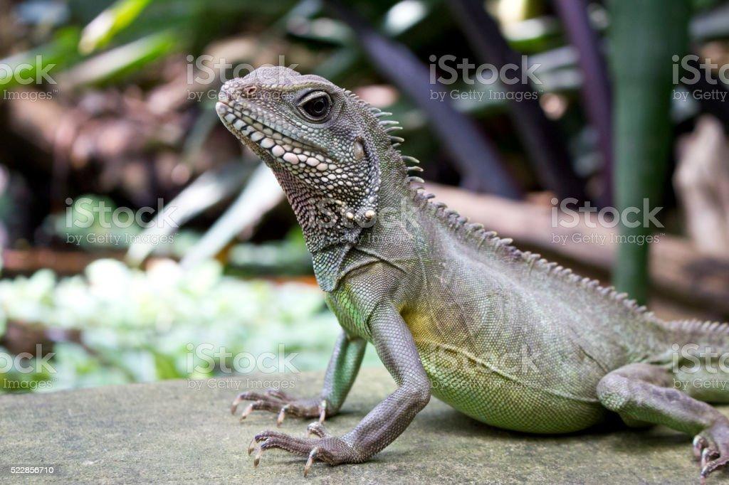 Close Up of an Asian Water Lizard stock photo