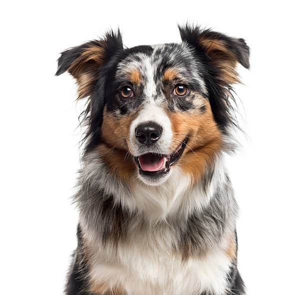 Close up of an Australian Shepherd isolated on white Close up of an Australian Shepherd looking at the camera, isolated on white (1 year old) australian shepherd stock pictures, royalty-free photos & images