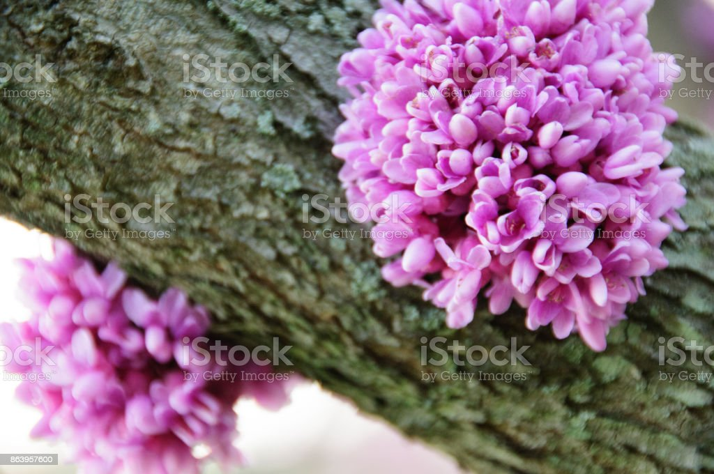 Close Up Of An Eastern Redbud Tree Trunk With Blossoms Stock Photo