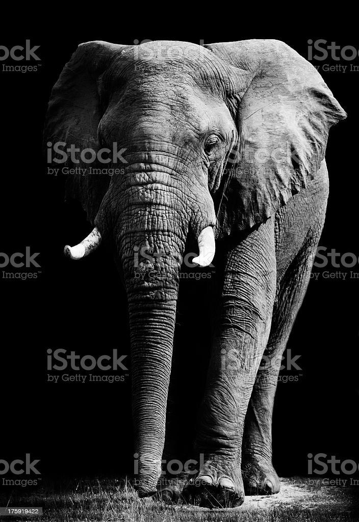 Close up of an elephant in black background stock photo