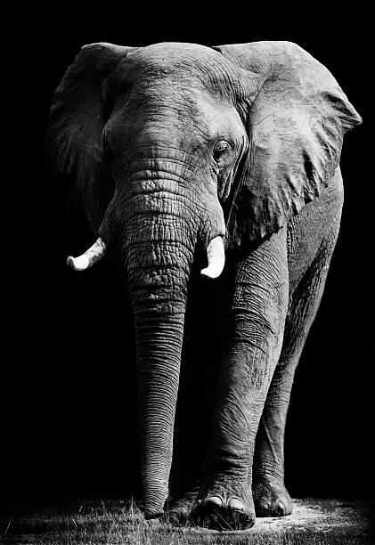 Close up of an elephant in black background Artistic black and white image of an African elephant tusk stock pictures, royalty-free photos & images