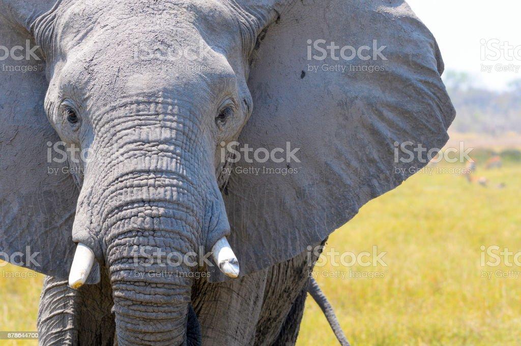 Nahaufnahme von einem Elefanten Kopf. – Foto