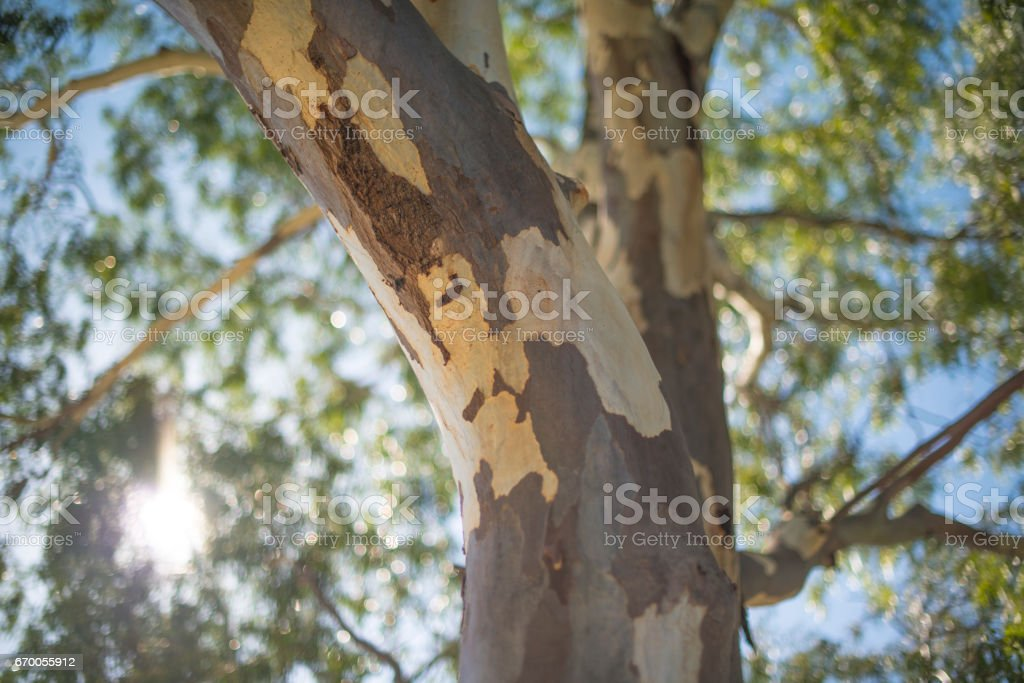 Close up of an eucalyptus tree in the bush, Australia royalty-free stock photo