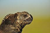 Close up of an iguana head, Galapagos Islands, Ecuador