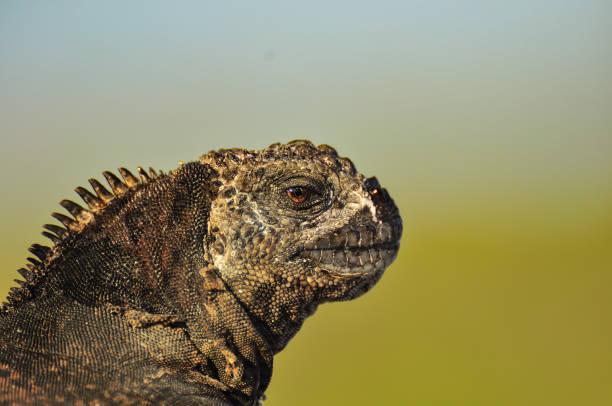 Close up of an iguana head, Galapagos Islands, Ecuador stock photo