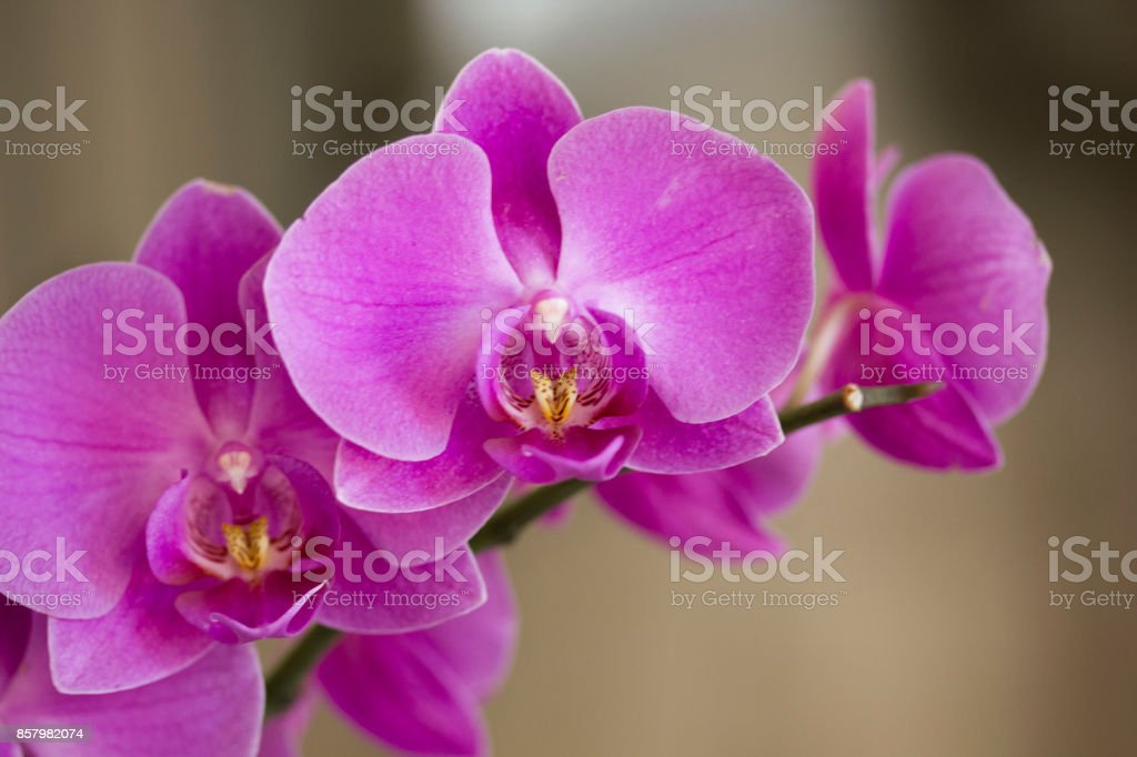 Close up of an isolated pink orchid plant stock photo