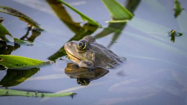 關閉一個孤立的陶德在池塘-多瑙河三角洲羅馬尼亞圖像檔