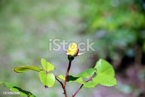 Close up of an isolated yellow rose bud with neutral background