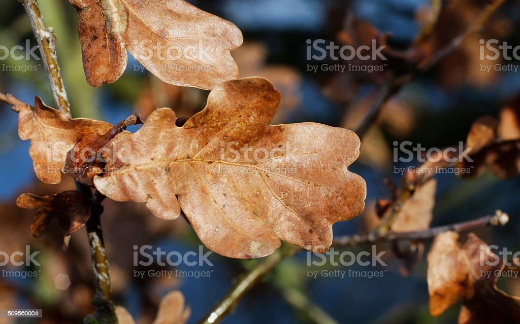 Dead oak leaf brown in winter stock photo