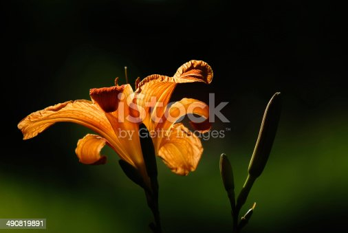 A close up of an orange daylily or day lily partially silhouetted in the sun set against a blurred dark green background.
