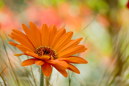 Orange flower against a colorful background for copy space.  [b]Click the thumbnail for more flower images with copy space.[/b] [url=/file_search.php?action=file&lightboxID=6925480][img]/file_thumbview_approve.php?size=1&id=9073177[/img][/url]