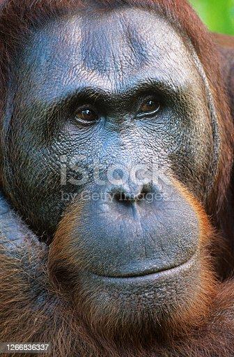 istock Close up of an Orangutan in the wild 1266836337