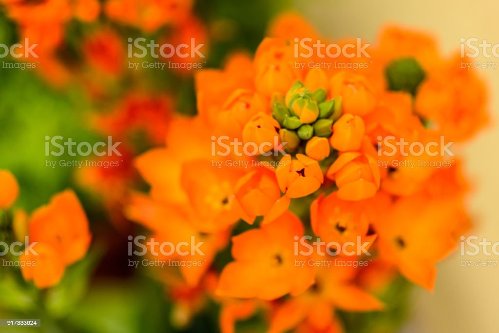 Close up of an ornithogalum dubium flower with blurred background.