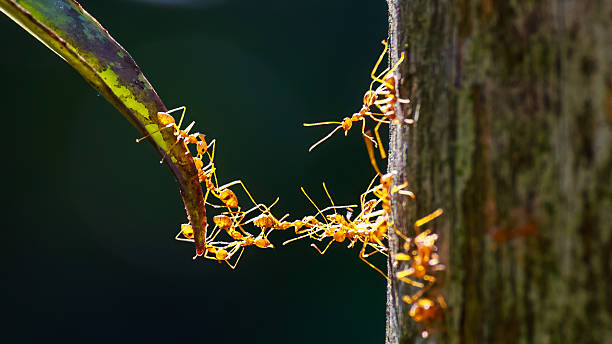close up of ants unity making bridge with their bodies - ants working together stock photos and pictures