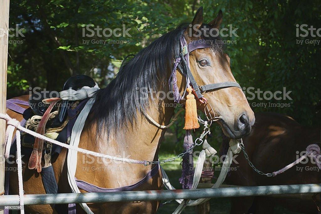 Close up of Aoi Matsuri Horse royalty-free stock photo