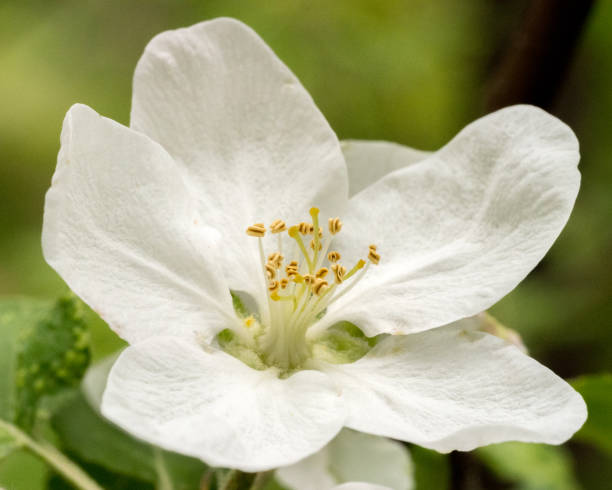 Close up of apple blossom with blurred background stock photo