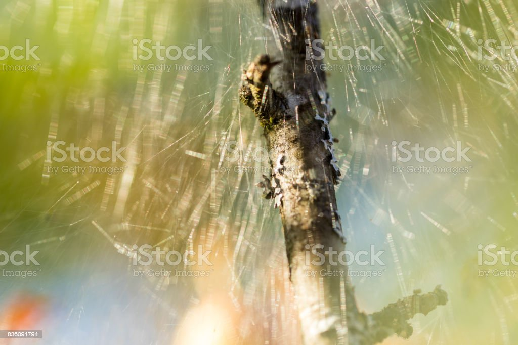 close up of apple tree branch caught in caterpillar tent stock photo