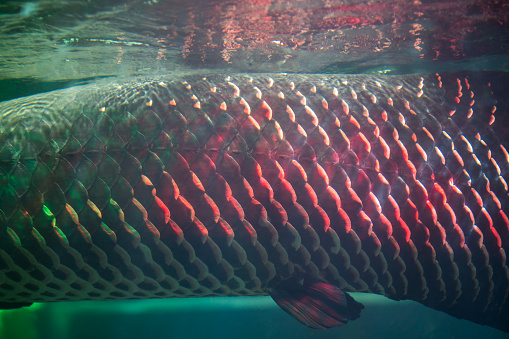Image result for arapaima