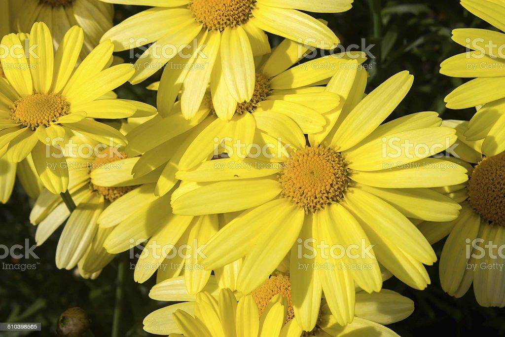Primer plano de la flor árnica - foto de stock