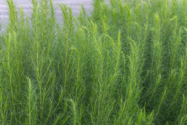 정원에서 아 르 테 미시아 capillaris의 클로즈업 스톡 사진