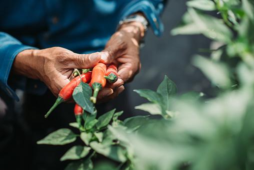 farmer harvesting at chilli field