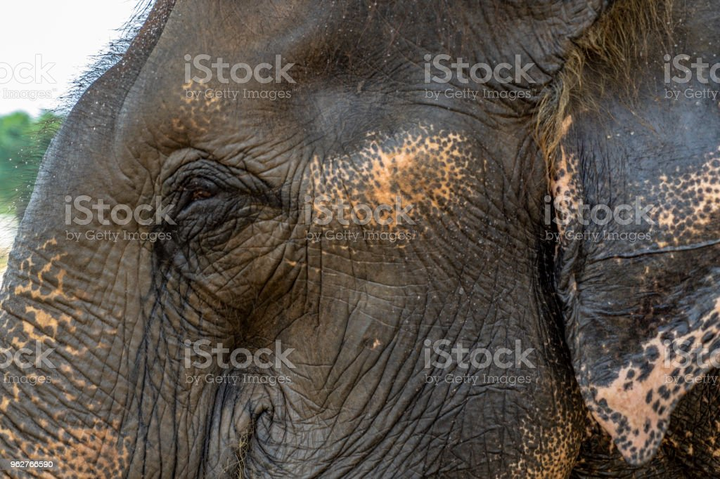 Close up of Asian Elephant's head. - Foto stock royalty-free di Animale