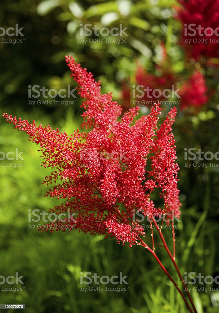 Close up of Astilbe stock photo