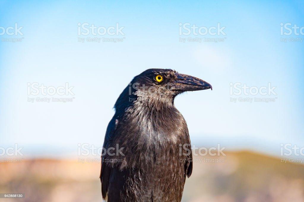 Close up of Australian currawong bird stock photo