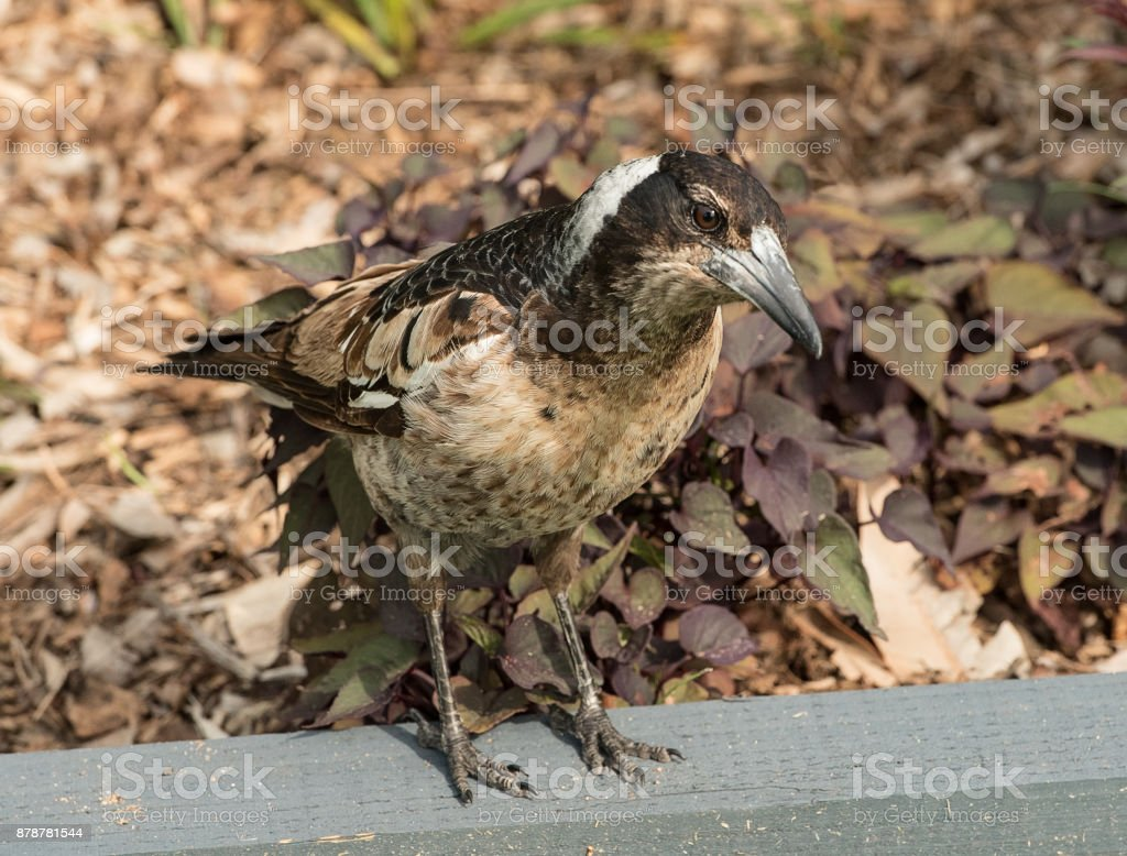 close up of australian magpie stock photo