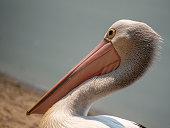 Close up of Australian Pelican and beak.