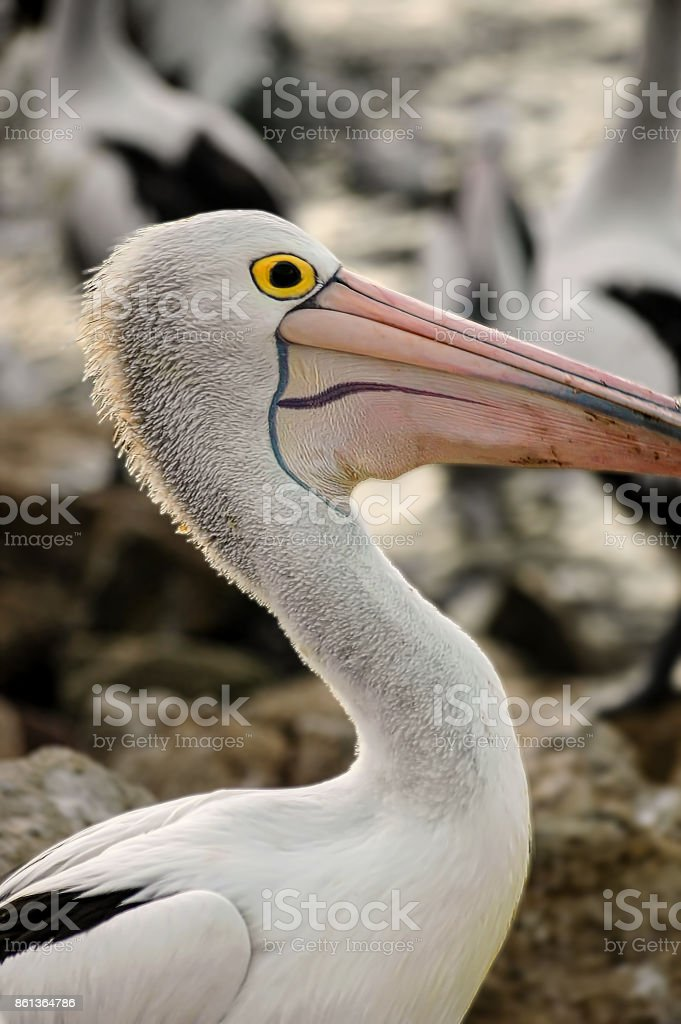 Close up of Australian white pelican in Kangaroo island. stock photo