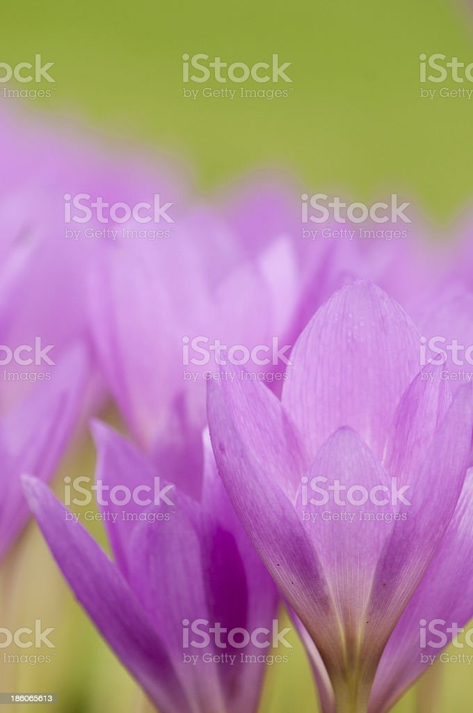 Close up of Autumn Crocuses royalty-free stock photo