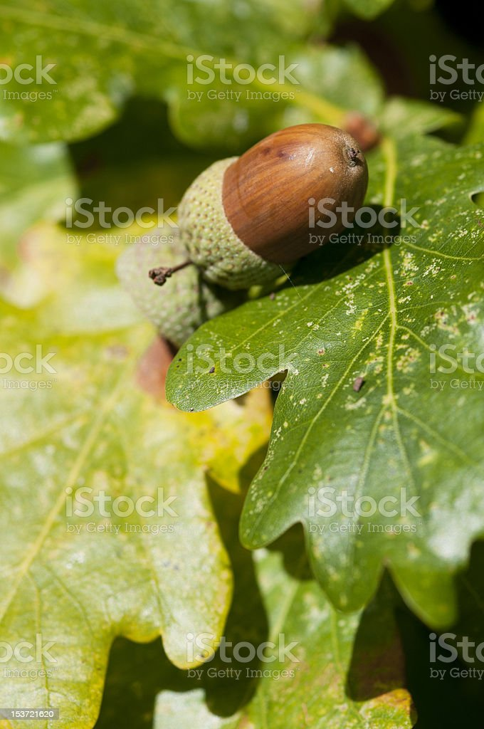 close up of autumn oak tree and acorns stock photo