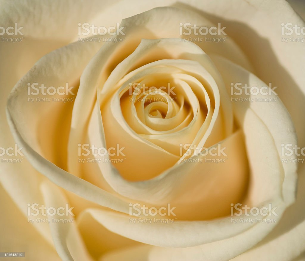 Close up of Avalanche White Rose royalty-free stock photo
