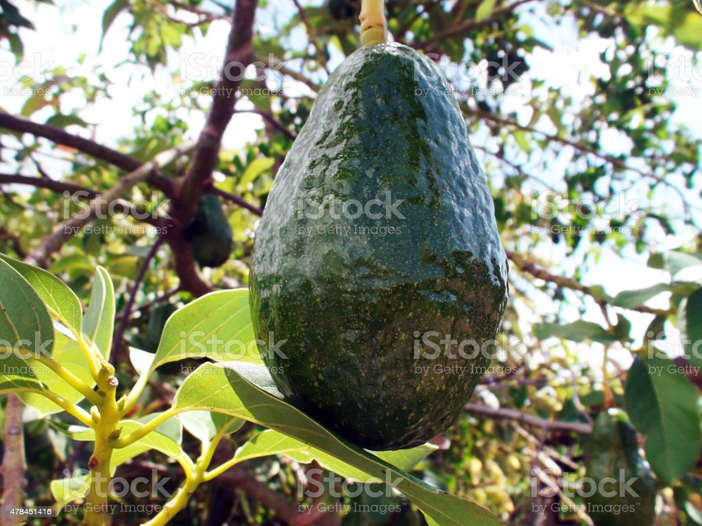 Close Up Of Avocado Tree In The Caribbean Tropical Climate stock photo