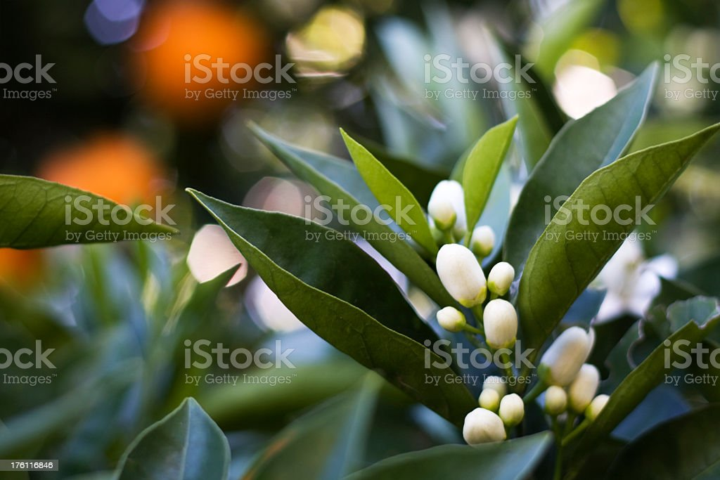 Close up of azahar flowers in a orange tree stock photo