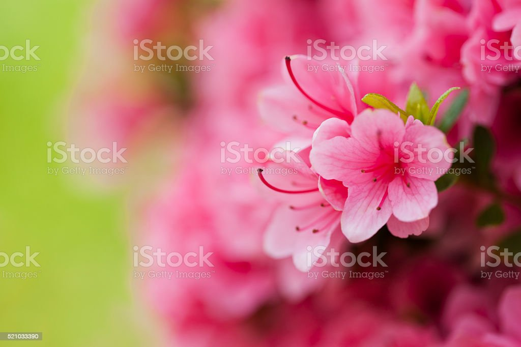 Close Up of Azalea Flowers stock photo