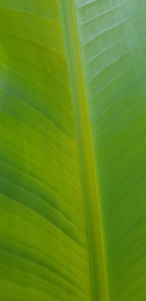 nahaufnahme von bananenblatt, detail der blattstruktur, rücklicht, selektiver fokus. - palmwedel stock-fotos und bilder