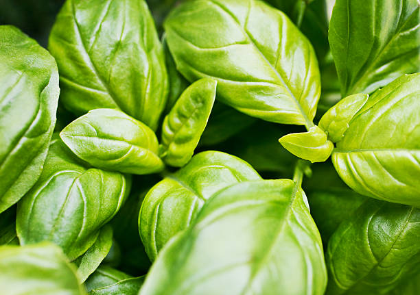 close up of basil leaves - basil stock photos and pictures