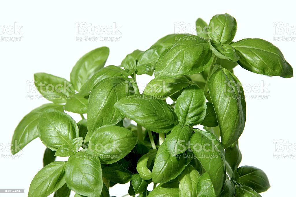 Close up of Basil plant growing royalty-free stock photo