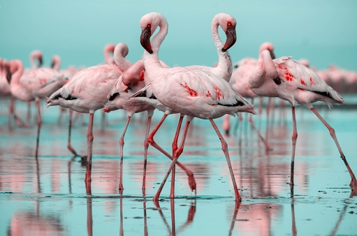 Close up of beautiful African flamingos that are standing in still water with reflection. Namibia