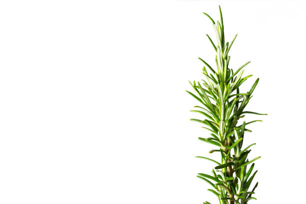 Close up of beautiful fresh green rosemary isolated on white background. Rosmarino. Aromatic herb Close up of beautiful fresh green rosemary isolated on white background. Rosmarino. Aromatic herb rosmarino stock pictures, royalty-free photos & images