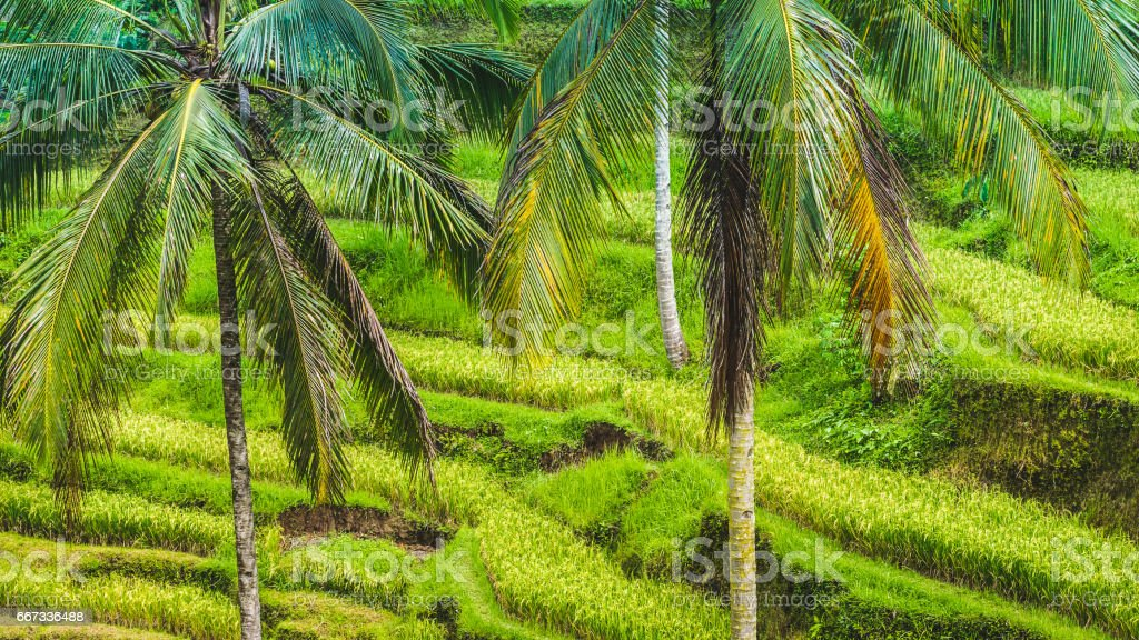 Close up of Beautiful Huge Palm Tree in Amazing Tegalalang Rice Terrace fields, Ubud, Bali, Indonesia stock photo