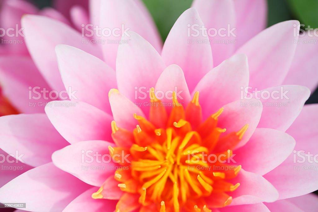 Acercamiento de bella Flor de loto foto de stock libre de derechos