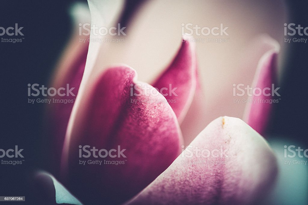 Close up of beautiful Magnolia [genus Magnolia] stock photo