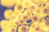 This is close up image of beautiful yellow mimosa flower, shoot on sunny day. Selective focus. Shallow doff.