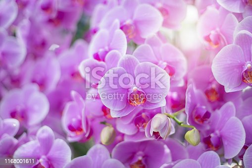 Close up of beautiful orchid flower in tropical garden, spring time season