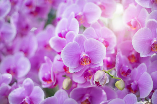Close up of beautiful orchid flower in tropical garden, spring time season stock photo