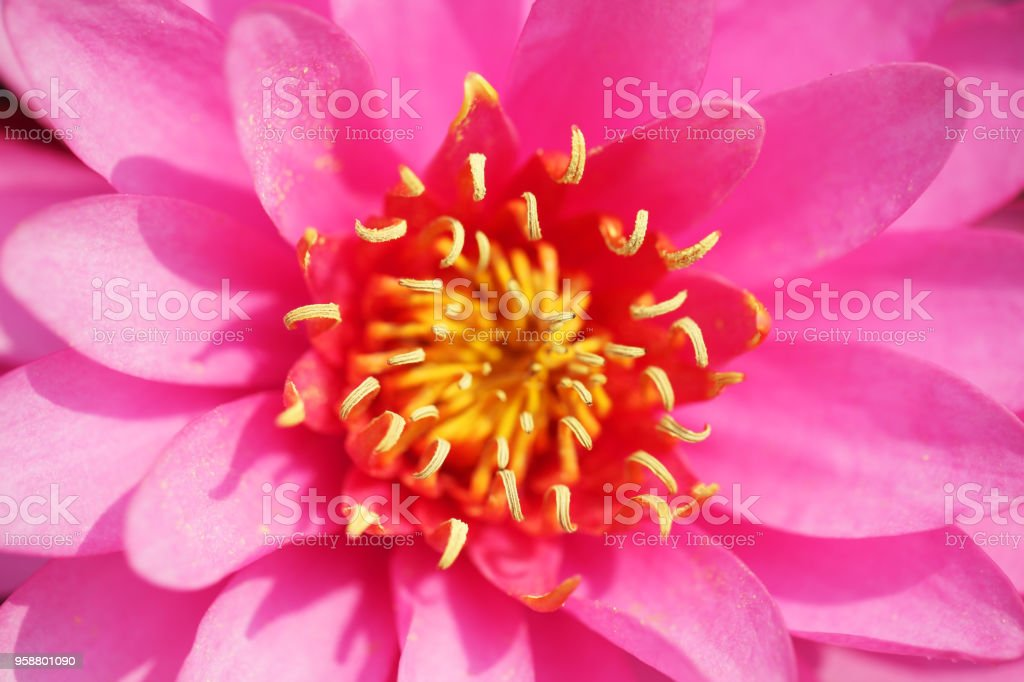 Close Up Of Beautiful Pink Color Blooming Lotus Flower Stock Photo